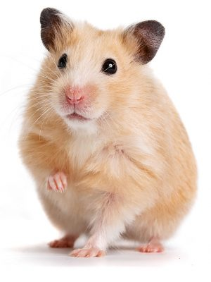 hamster-300x400