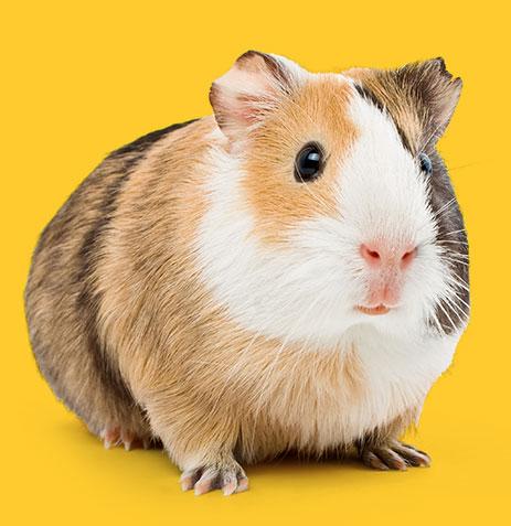 guinea_pig_yellow-1