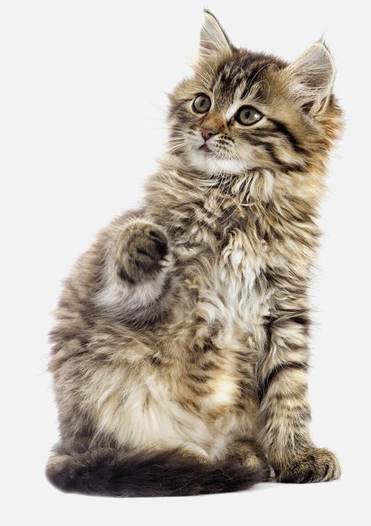 Kitten_BG_DACC