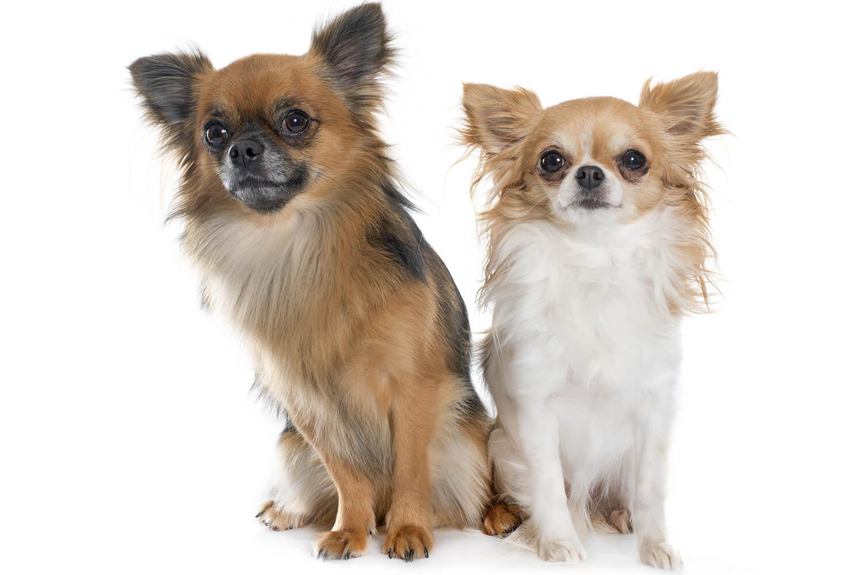 two-chihuahuas