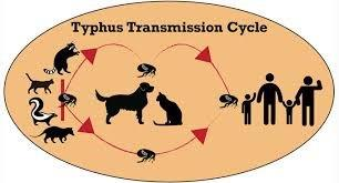 Typhus Transmission Cycle